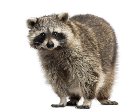 procyon: Racoon, Procyon Iotor,  standing, isolated on white Stock Photo