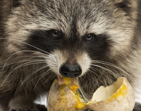 procyon: Close-up of a Racoon, Procyon Iotor, eating an egg Stock Photo