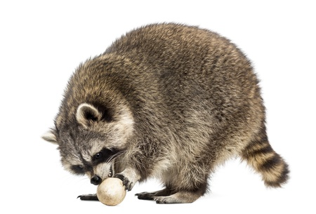 procyon: Racoon, Procyon Iotor,  standing, eating an egg, isolated on white