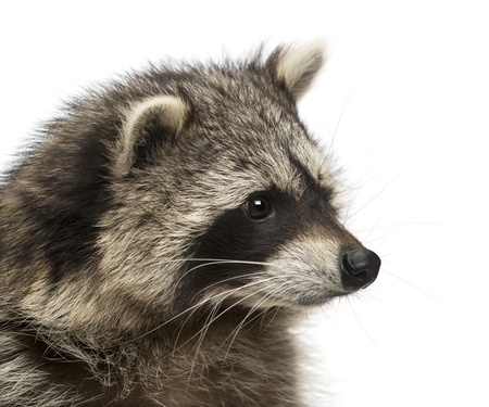 procyon: Close-up of a racoon, Procyon Iotor, isolated on white Stock Photo