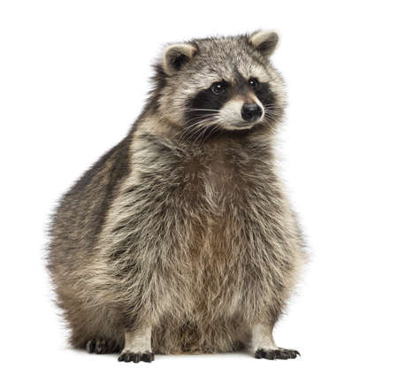 procyon: Racoon, Procyon Iotor, sitting, isolated on white