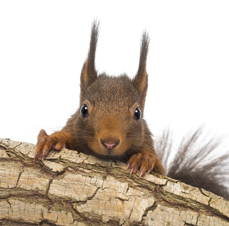 red squirrel: Close-up of a Red squirrel or Eurasian red squirrel, Sciurus vulgaris, hiding behind a branch, isolated on white Stock Photo