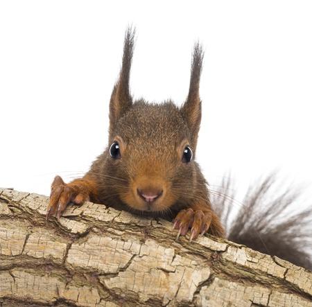 sciurus: Primer plano de una ardilla roja o Ardilla roja eurasi�tica, Sciurus vulgaris, escondi�ndose detr�s de una rama, aislado en blanco