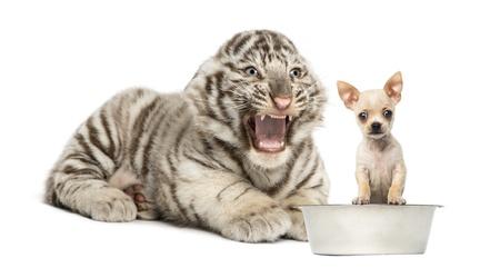 tiger cub: Tigre blanc crier � un chiot de Chihuahua, isol� sur blanc Banque d'images