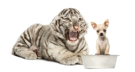 cat tiger: White tiger cub screaming at a Chihuahua puppy, isolated on white
