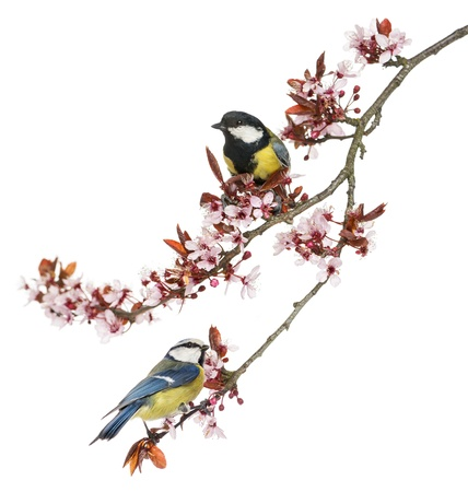 tit: Great Tit and Blue Tit perched on a blossoming branch, isolated on white