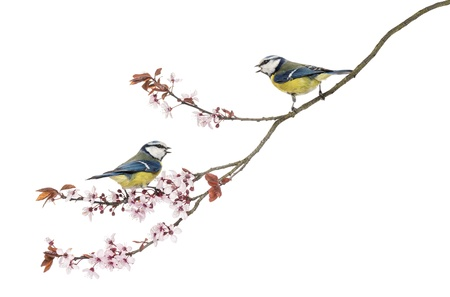 Two Blue Tits whistling on a flowering branch, Cyanistes caeruleus, isolated on white photo
