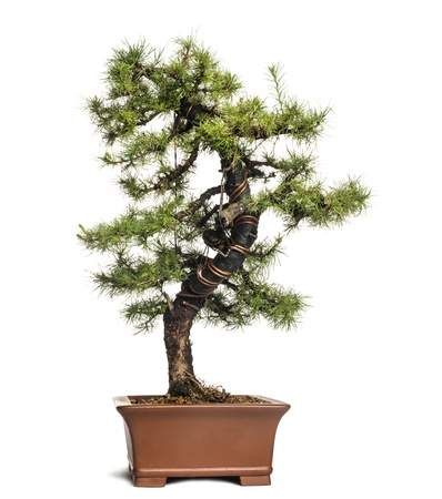 bonsai: Larch bonsai tree, Larix, isolated on white