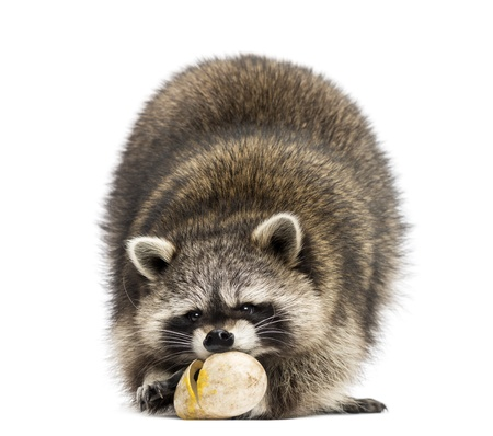 Racoon, Procyon Iotor,  standing, eating an egg, isolated on white photo