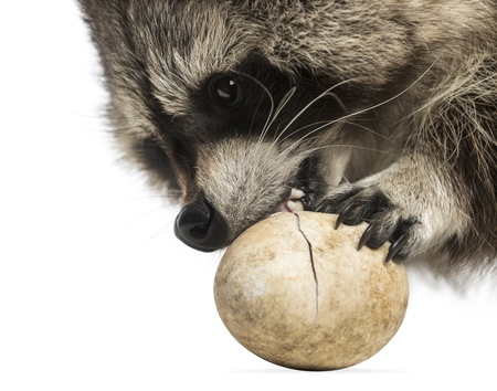 procyon: Close-up of a Racoon, Procyon Iotor, eating an egg, isolated on white Stock Photo