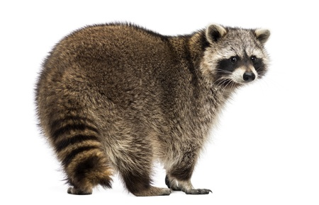 procyon: Rear view of a Racoon, Procyon Iotor, standing, isolated on white Stock Photo