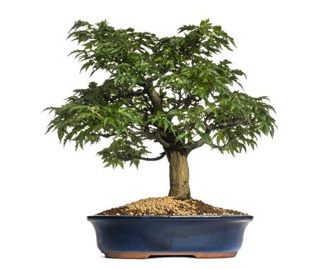 Japanese Maple or Shishigashira bonsai tree, Acer Palmatum, isolated on white Stock Photo - 21229410