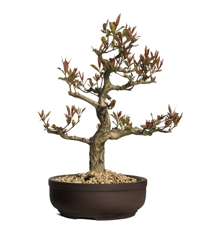 punica granatum: Pomegranate bonsai tree, Punica granatum, isolated on white Stock Photo