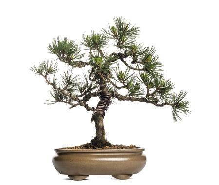 pinus sylvestris: Scots pine bonsai tree, Pinus sylvestris, isolated on white Stock Photo