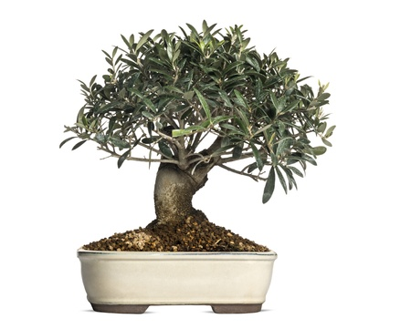 Olive, bonsai tree, olea europaea, isolated on white photo