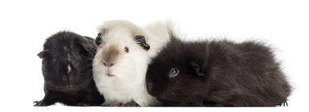 cavie: Tre Guinea Pigs, isolato su bianco Archivio Fotografico