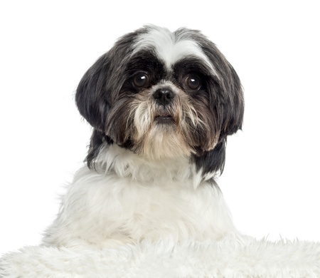 shih tzu: Close up of a Shih Tzu, isolated on white