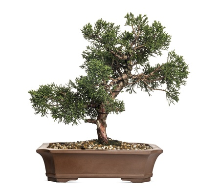 bonsai: Juniper bonsai tree, Juniperus, isolated on white