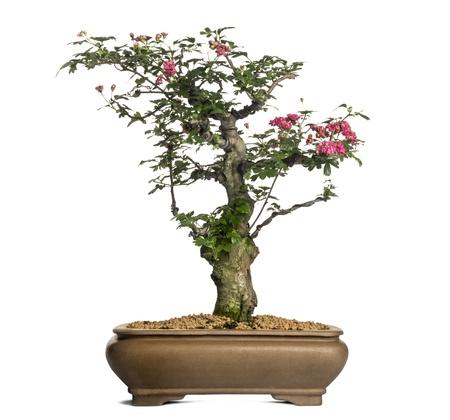 crata�gus: Hawthorn bonsai �rbol, Crataegus, aislado en blanco
