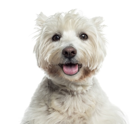 Close-up of a Westhighland WhiteTerrier panting, isolated on white photo