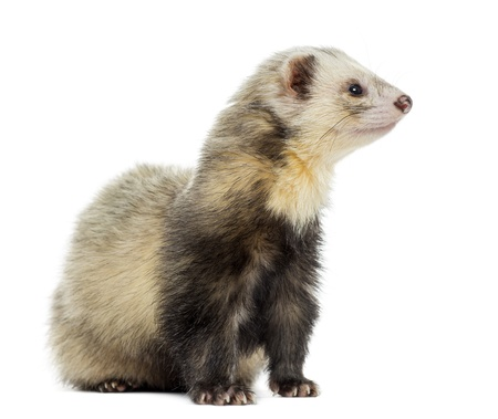 Ferret sitting, looking away, isolated on white photo