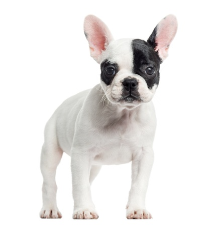 French bulldog standing, looking at the camera, isolated on white photo