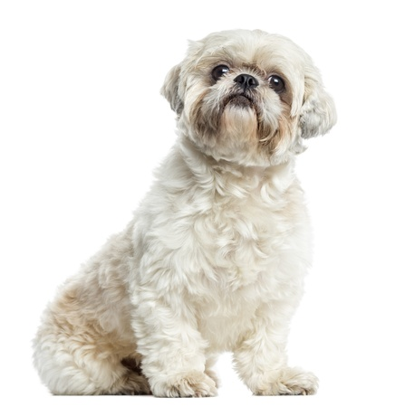 Shih Tzu sitting, isolated on white photo