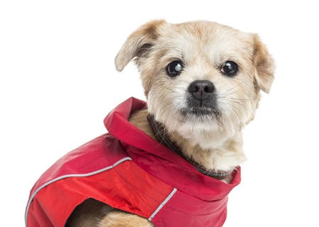 sightless: Close up of a ill dressed Crossbreed dog, isolated on white