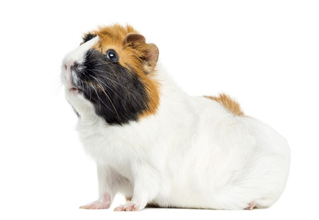 pig out: Guinea Pig, isolated on white Stock Photo