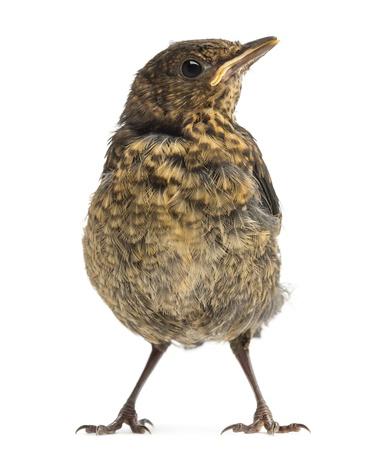 merula: Common Blackbird or Eurasian Blackbird, Turdus merula, 15 days old, isolated on white