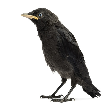 jackdaw: Western Jackdaw, Eurasian Jackdaw or European Jackdaw, Corvus monedula, 20 days old, isolated on white