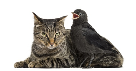 tweeting: Western Jackdaw tweeting next to a cat, isolated on white