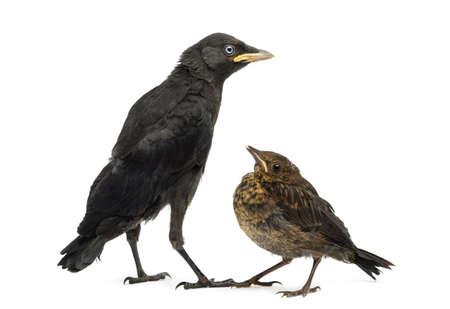 jackdaw: Common Blackbird and Western Jackdaw, isolated on white