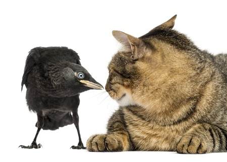 monedula: Western Jackdaw and cat looking at each other, isolated on white