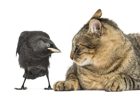 Western Jackdaw and cat looking at each other, isolated on white Stock Photo - 21230050