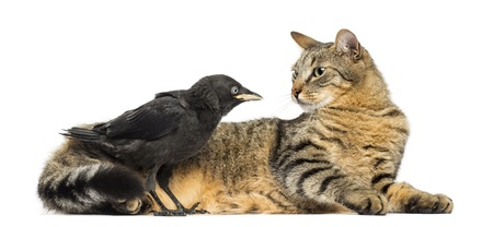 monedula: Western Jackdaw and lying cat looking at each other, isolated on white