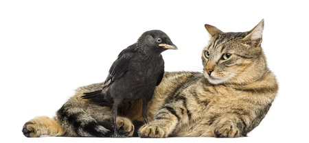 Western Jackdaw looking at a lying cat, isolated on white photo