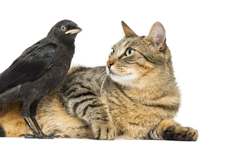 Lying cat looking at a Western Jackdaw, isolated on white photo
