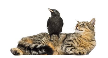 monedula: Western Jackdaw perched on a cat, looking in the same direction, isolated on white