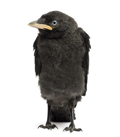 Western Jackdaw, Eurasian Jackdaw or European Jackdaw, Corvus monedula, 20 days old, isolated on white Stock Photo - 21229620