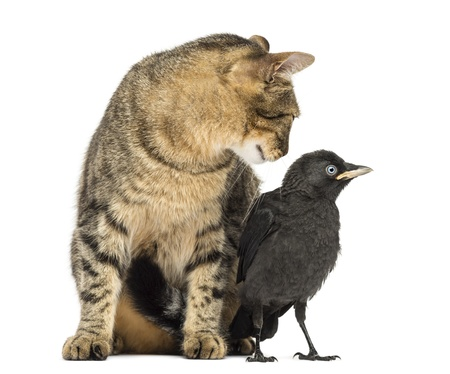 Cat looking at a Western Jackdaw, isolated on white Stock Photo - 21229995
