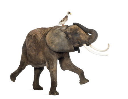 crested duck: Side view of an African elephant performing with a crested duck on its back, isolated on white Stock Photo