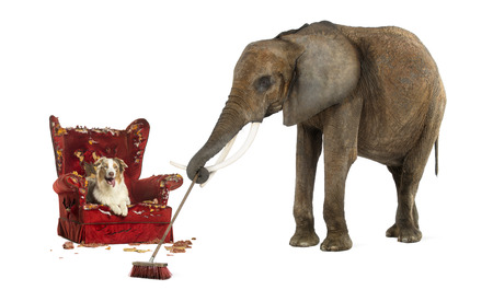 messed up: African elephant sweeping after a dog messed up an armchair, isolated on white Stock Photo