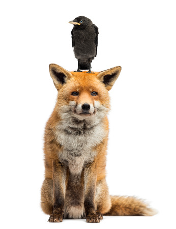 monedula: Jackdaw perching on the head of red fox, isolated on white