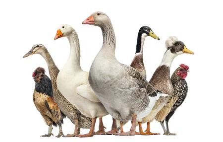 granja avicola: Grupo de patos, gansos y pollos, aislados en blanco