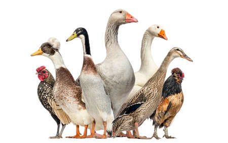 domestic duck: Group of Ducks, Geese and Chickens, isolated on white Stock Photo