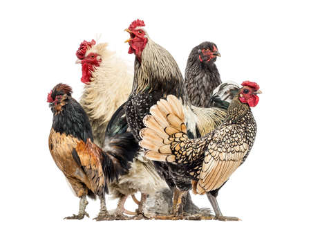 rooster: Group of hens and roosters, isolated on white