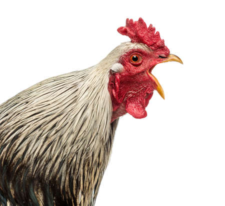 domesticated: Close up of a Brahma rooster crowing, isolated on white