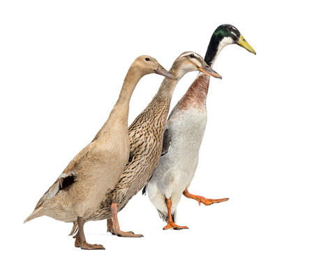 domestic duck: Side view of three Ducks in a race, isolated on white