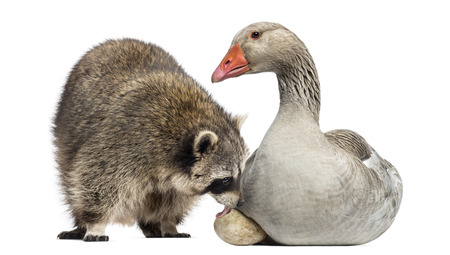 procyon: Racoon licking the egg of a Domestic goose sitting on it, isolated on white